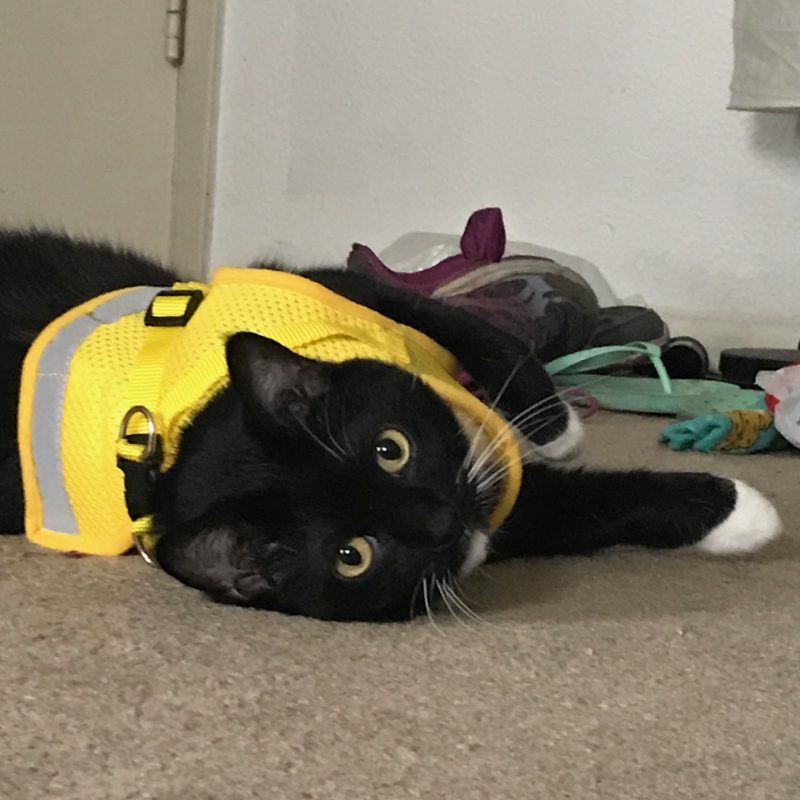 Cat in a vest